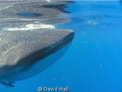 I shot the picture of this Whale Shark North of Isle Meju... by David Hall 